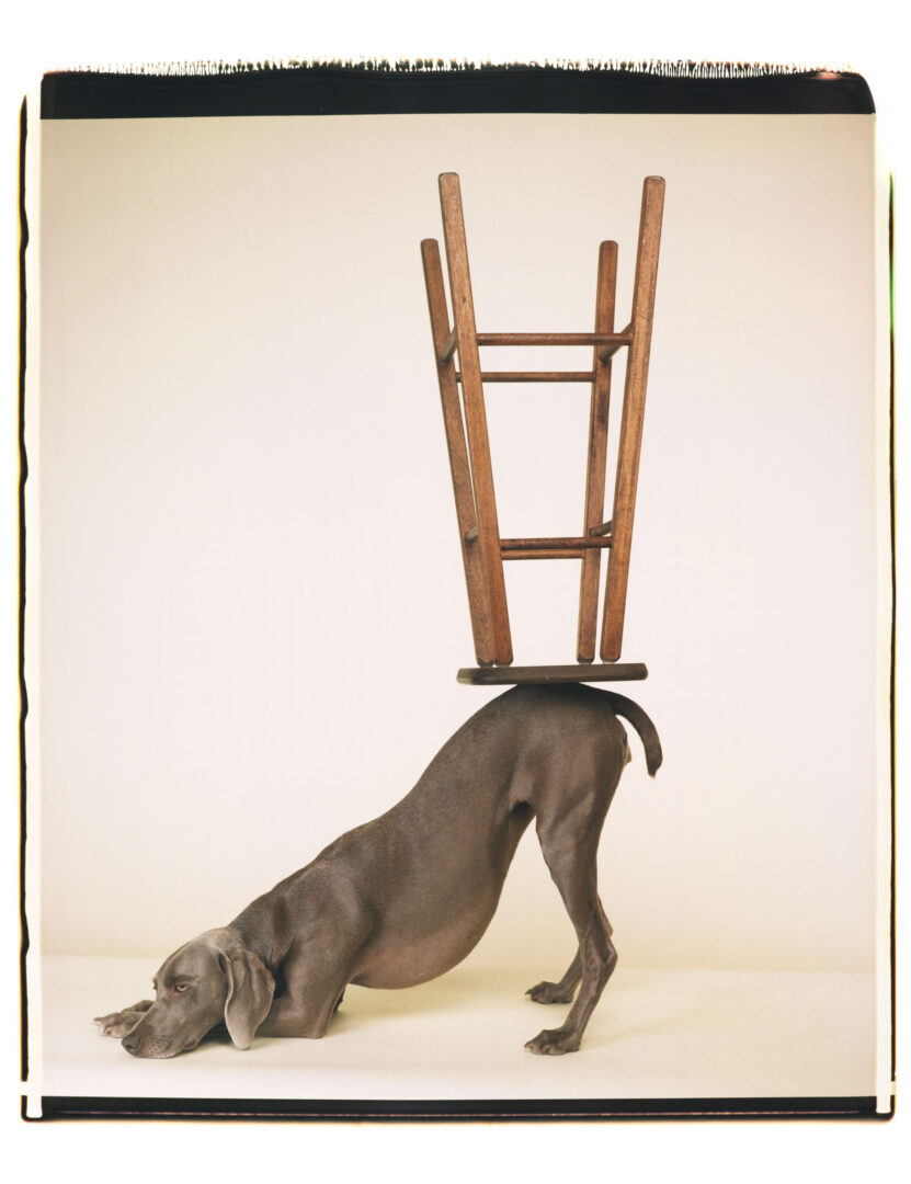 Exhibition View William Wegman Soloshow «Being Human; view on Upside Downward, 2006» at MASI, Lugano, 2019 / © William Wegmann / Courtesy: the artist and MASI, Lugano