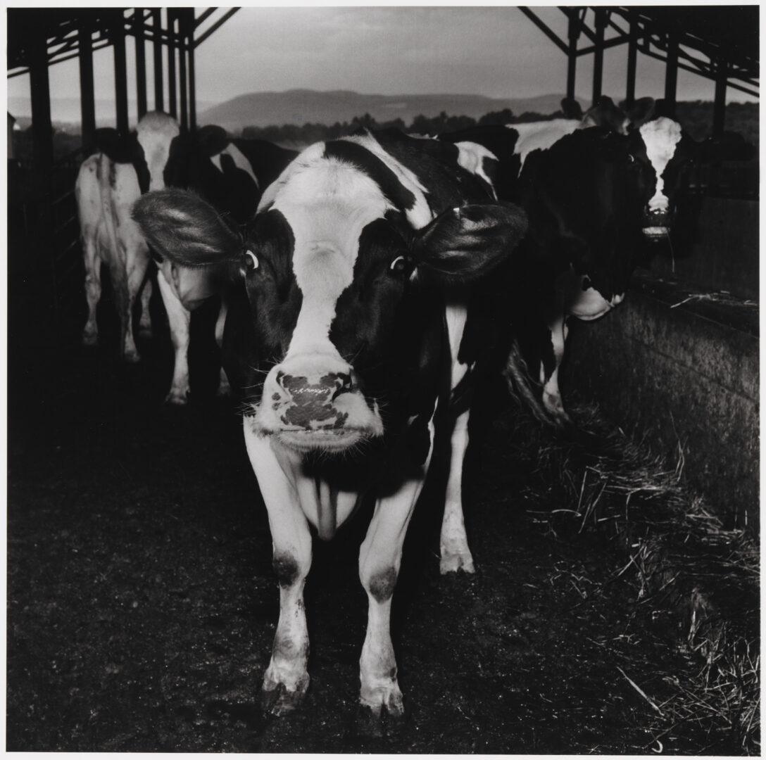 Exhibition View Peter Hujar & Paul Thek Joint Exhibition (view on Peter Hujar, Electric Cow, 1978) at Mai 36 Galerie, Zurich, 2020 / © The Estate of Peter Hujar / Courtesy: Mai 36 Galerie, Zurich